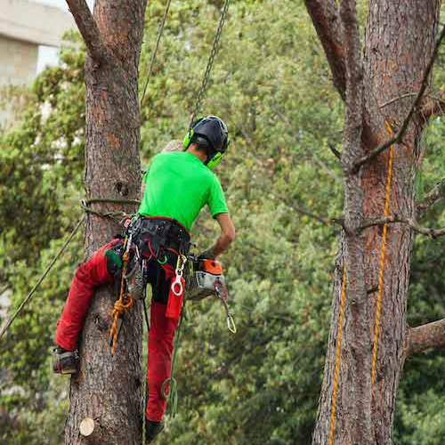 Picture of our crew man in a tree with safety equipment preparing to trim old limbs for a customer in Santa Barbara, CA