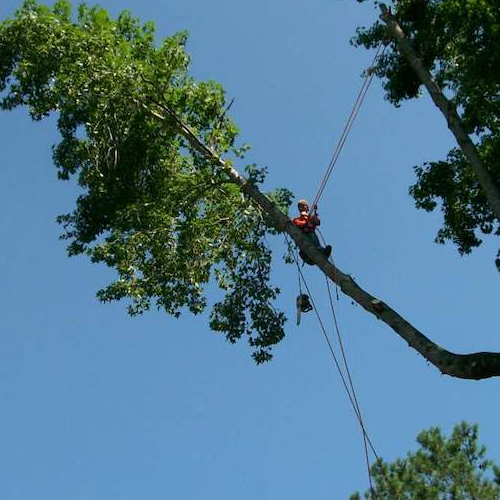 Picutre of a climber on a large limb with safety equimpent to trimm off dead branches in Santa Barbara, CA