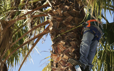 A close up picutre of a palm tree being cut down by a crew memeber in Santa Barbara, CA