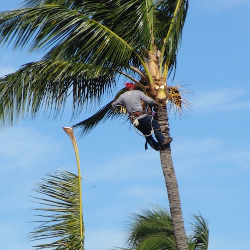 Picture of our climber in a palm tree to trim dead limbs in Santa Barbara, CA